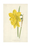 Incomparable Daffodil Giclee Print by Frederick Edward Hulme