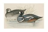 Harlequin Duck Giclee Print by Beverley R. Morris