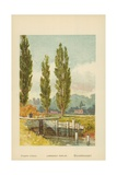 Lombardy Poplar Giclee Print by William Henry James Boot