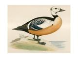 Steller's Western Duck Giclee Print by Beverley R. Morris