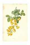 Laburnum Giclee Print by Frederick Edward Hulme