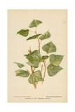 Leaves of the Lombardy Poplar Giclee Print by William Henry James Boot