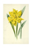 Double Trumpet Daffodil Giclee Print by Frederick Edward Hulme