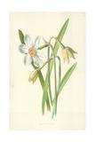 Poet's Daffodil Giclee Print by Frederick Edward Hulme