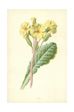 Oxlip Giclee Print by Frederick Edward Hulme