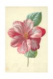 Camellia Giclee Print by Frederick Edward Hulme