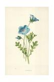 Nemophila Giclee Print by Frederick Edward Hulme