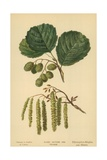 Alder, Catkins and Foliage Giclee Print by William Henry James Boot