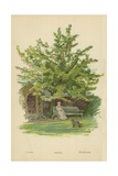 Cherry Giclee Print by William Henry James Boot