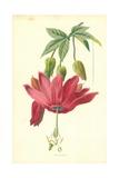 Tacsonia Giclee Print by Frederick Edward Hulme