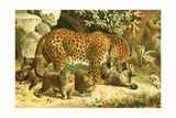Leopards Giclee Print by  English School