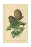 Cones of the Cedar Giclee Print by William Henry James Boot