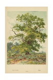 Oak Giclee Print by William Henry James Boot