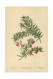 Flowers and Fruit of the Yew Giclee Print by William Henry James Boot