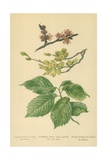 Flowers, Fruit, and Leaves of the Elm Giclee Print by William Henry James Boot