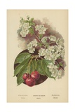 Cherry-Blossom. Fruit Giclee Print by William Henry James Boot