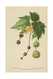 Catkins of the Plane Giclee Print by William Henry James Boot