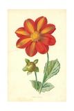 Single Dahlia Giclee Print by Frederick Edward Hulme