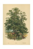 Alder Giclee Print by William Henry James Boot