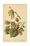 Hazel, Catkins and Fruit Giclee Print by William Henry James Boot