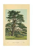 Cedar of Lebanon Giclee Print by William Henry James Boot
