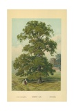 Common Elm Giclee Print by William Henry James Boot