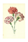 Picotees Giclee Print by Frederick Edward Hulme