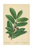 Laurel, Foliage and Berries Giclee Print by William Henry James Boot