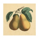 Pears Giclee Print by  English School