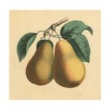 Pears Giclee Print by  English School