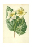 White Begonia Giclee Print by Frederick Edward Hulme