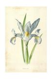 Spanish Iris Giclee Print by Frederick Edward Hulme