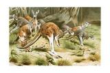 The Red Kangaroo Giclee Print by Wilhelm Kuhnert