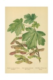 Field Maple, Foliage and Fruit Giclee Print by William Henry James Boot