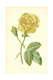 Marechal Niel Rose Giclee Print by Frederick Edward Hulme