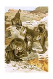 Baboons Giclee Print by  English School