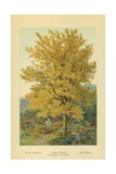 Field Maple (Autumnal Foliage) Giclee Print by William Henry James Boot