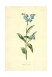 Forget-Me-Not Giclee Print by Frederick Edward Hulme