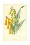 Lachenalia Giclee Print by Frederick Edward Hulme