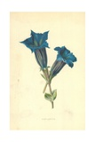 Centianella Giclee Print by Frederick Edward Hulme