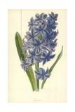 Hyacinth Giclee Print by Frederick Edward Hulme