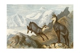 The Chamois - 'The Chamois Hunter's Hunting Ground' Giclee Print by Johann Baptist Zwecker