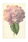 Hydrangea Giclee Print by Frederick Edward Hulme