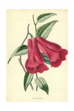 Lapageria Giclee Print by Frederick Edward Hulme