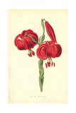Lily of the Field Giclee Print by Frederick Edward Hulme