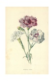Border Pinks Giclee Print by Frederick Edward Hulme