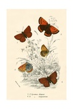 Butterflies Photographic Print by  English School