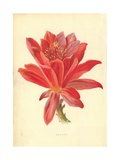 Cactus Giclee Print by Frederick Edward Hulme
