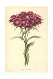 Sweet William Giclee Print by Frederick Edward Hulme