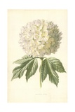 Guelder Rose Giclee Print by Frederick Edward Hulme